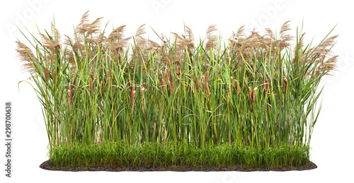 Obraz Cut out plant. Reed grass. Cattail and reed plant isolated on white background. Cutout distaff and bulrush. High quality clipping mask . - fototapety do salonu