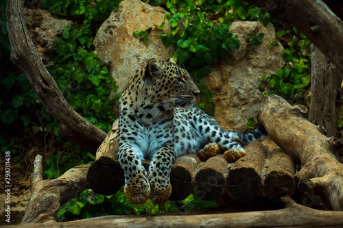 big leopard in garden