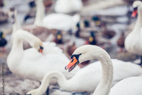Spoed Fotobehang Zwaan Swans and ducks in winter