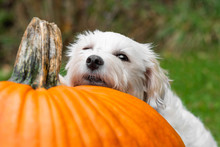 Small Dog Resting Head On Pumpkin