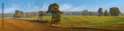 panorama of the autumn field. Trees in the field near the forest, the key of geese flying against the blue sky