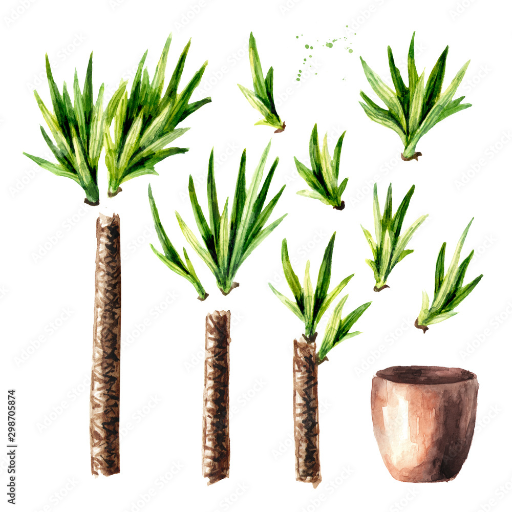 Fototapety, obrazy: Yucca tree in the ceramic flower pot. Indoor, home, house plant set, Watercolor hand drawn illustration isolated on white background