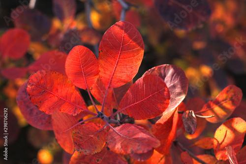 Foto auf Gartenposter Schokobraun Beautiful tree with bright red and orange leaves. Brunches of wild European smoketree, Cotinus bush. Nature wallpaper.