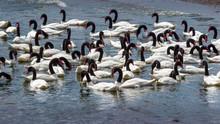 Caulin, Chiloe Island, Chile - Birdwatching In Chiloe, Chile: Black Necked Swans (Cygnus Melancoryphus)