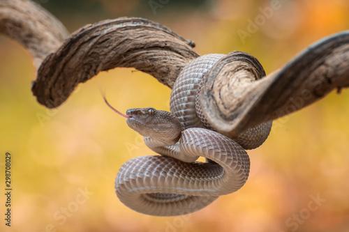 Fototapeta Mangrove pit viper