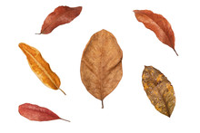 Dry Leaf In Isolated With Clipping Path,Brown Color Leaves Set In Autumn