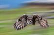 canvas print picture -  Virginia-Uhu (Bubo virginianus) im Flug