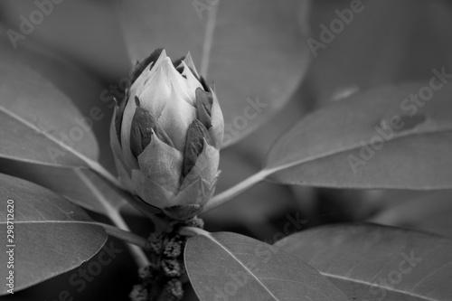 Azalea flower in black and white
