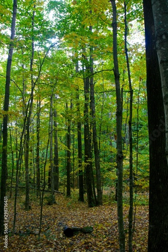 tall trees in spring forest #2