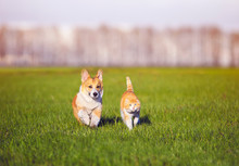Red Cat And Corgi Dog Puppy Wa...