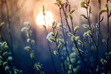 Willow Branches With Fluffy Yellow Buds Blossomed In Spring Warm Day On The Background Of Sunset