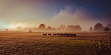 Salers Cow In The Morning Fog ...