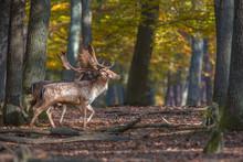 Fallow Deer, Dama Dama, Slovakia