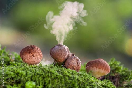 Obraz na plátně  Puffball fungus (Lycoperdon perlatum) spores reproduction smoke mushroom