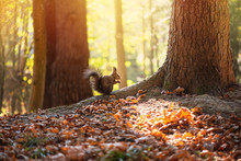Squirrel Gnaws Nut On Oak Tree Root, Soft Sunlight Illuminates Background. Beautiful Autumn Day In Forest.