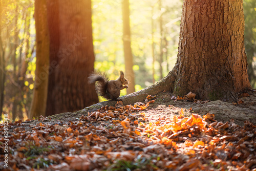 Squirrel gnaws nut on oak tree root, soft sunlight illuminates background. Beautiful autumn day in forest. - 298723418