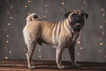 Happy Pug Dog With Brown Fur S...