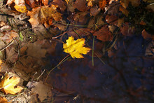 Yellow Maple Leaf Fell Into A ...