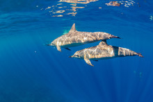 Two Dolphins Swimming Near Sur...