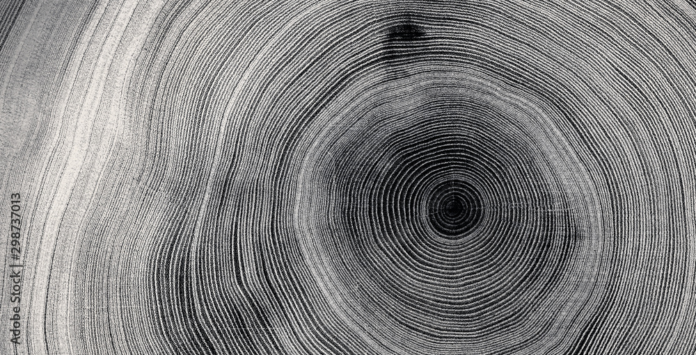 Fototapeta Old wooden tree cut surface. Detailed black and white texture of a felled tree trunk or stump. Rough organic tree rings with close up of end grain.