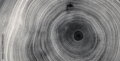 Fototapeta Old wooden tree cut surface. Detailed black and white texture of a felled tree trunk or stump. Rough organic tree rings with close up of end grain. obraz
