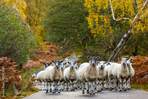 Glen Strathfarrar, a flock of Highland Mule sheep with grown lambs on the single track road Canvas Print