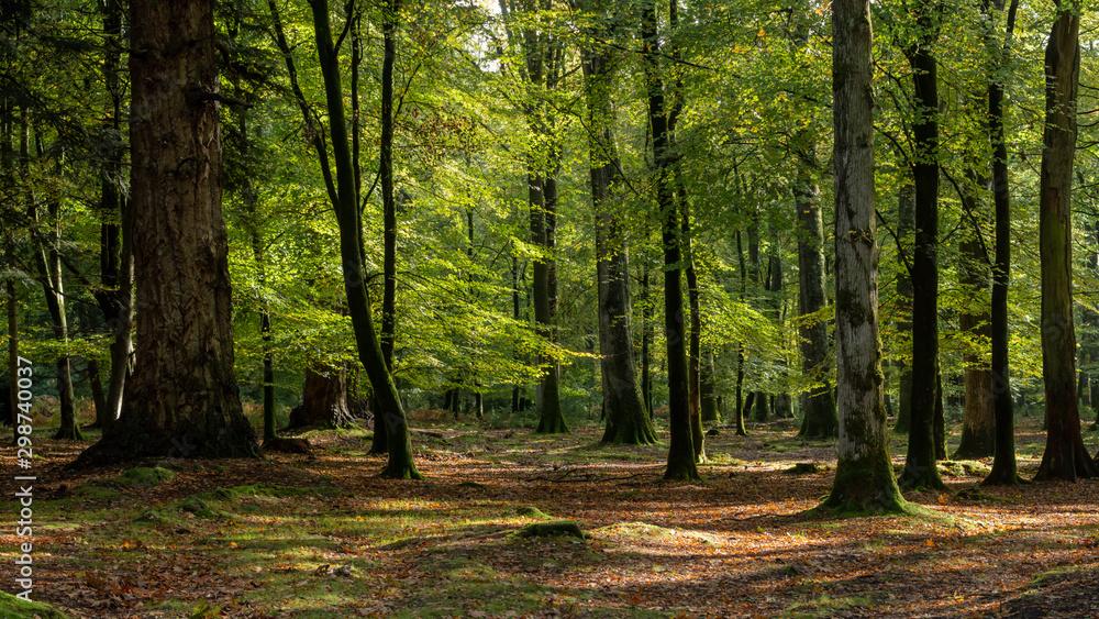 Fototapeta Woodland walk in the new forest in Autumn
