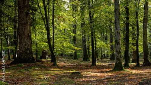 Fototapeta Woodland walk in the new forest in Autumn obraz