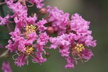 Lagerstroemia Flos Reginae, Giant Crape Myrtle, Queens Flower, Pride Of India, Banaba, Blooming Pink Flowers