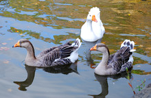 Three Geese In A Pond