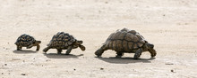 Leopard Tortoises Walking In A...