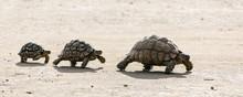 Leopard Tortoises Walking In A...