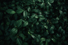 Foliage Of Tropical Leaf In Da...