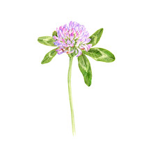 Red Clover, Flower, Drawing By...