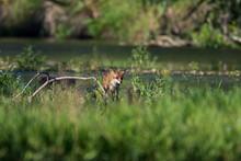 Red Fox Ion The Drava River, Croatia