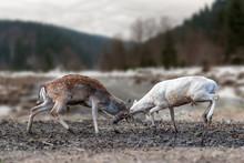 Two Men Deer Fighting With Hor...