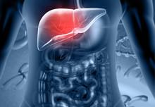 Human Digestive System Liver A...