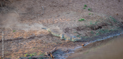 Large crocodile racing down a dry river bank towards the safety of the water ima Wallpaper Mural
