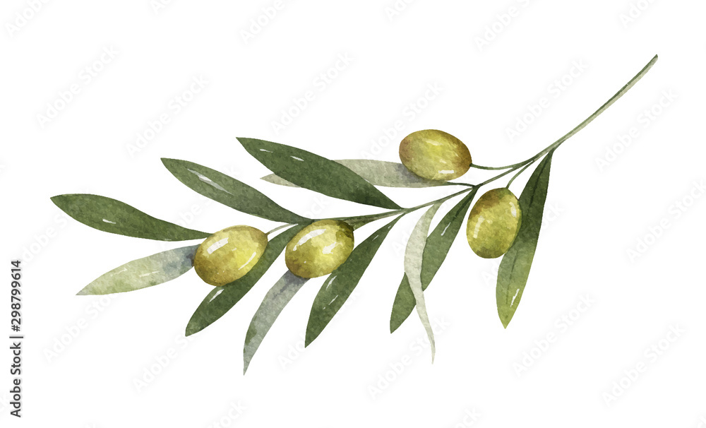 Fototapeta Watercolor vector olive branch with leaves and fruits.