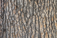 Pine Tree Bark Texture With Beautiful Pattern