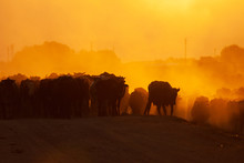 Herd Of Cows On A Road In A Village At Sunrise