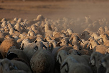 Flock Of Sheep At Sunrise