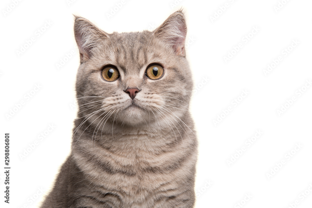 Fototapeta Portrait of a silver tabby british shorthair cat looking at the camera isolated on a white background