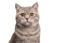 Portrait Of A Silver Tabby British Shorthair Cat Looking At The Camera Isolated On A White Background