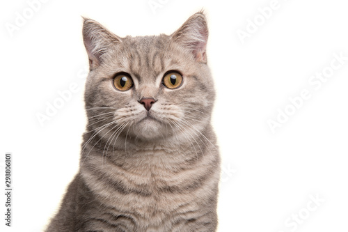 Canvas Print Portrait of a silver tabby british shorthair cat looking at the camera isolated