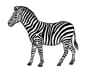 Drawing of Zebra. Sketch of African mammal Equus quagga, black and white illustration