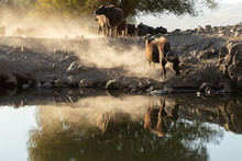 Water Buffalo Crossing A Pond At Sunset