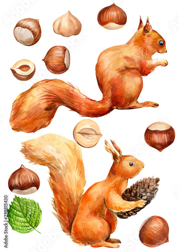 Fotografía  hazelnut and red squirrel watercolor, set of drawn nuts on a white background, s