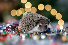 Small Christmas Hedgehog Is Looking At The Camera