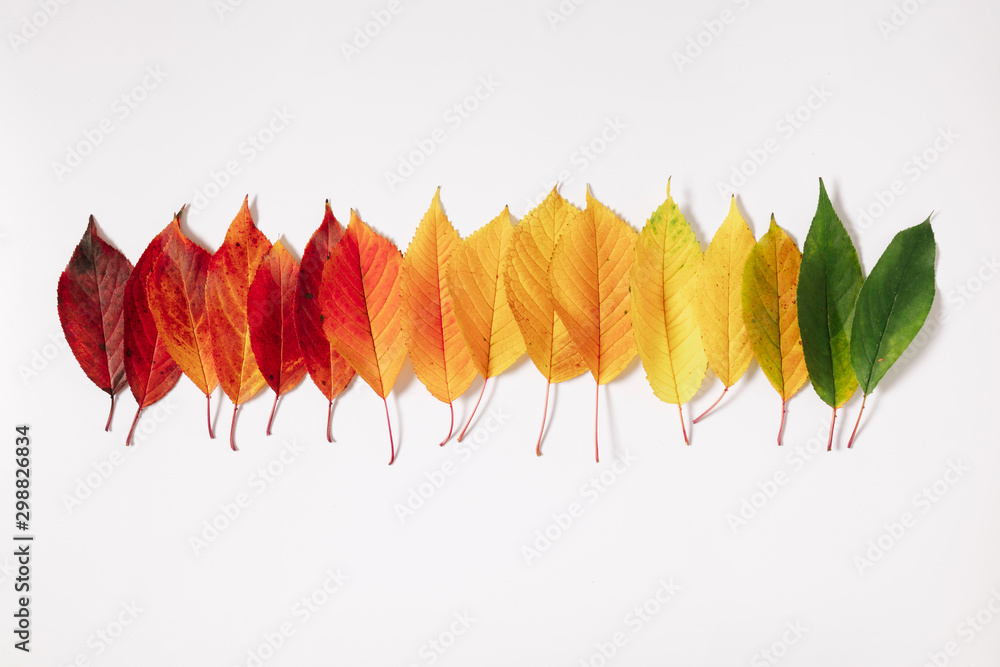 Fototapety, obrazy: Autumn creative composition. Colorful leaves on white background. Fall leaves. Autumn background. Flat lay, top view, copy space